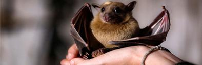 منشاء ژنتیکی ویروس کرونا: آیا خفاش ها مقصرند؟